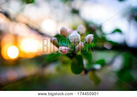 Blooming Almond Tree On The Blue Sky Background.