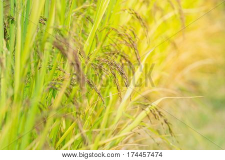 Close up awn Rice purple berries in the field.