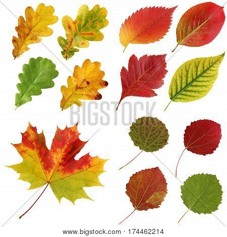 Set of autumn leaves isolated on white background. oak elm aspen hawthorn maple and others.