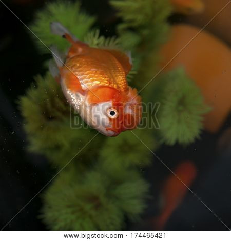 a dead gold fish floating on top and some swimming underneath