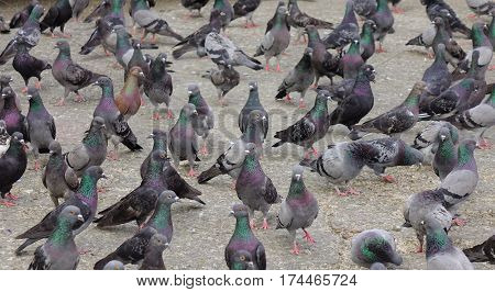 Pigeons at the main square in the central of city. Close up.