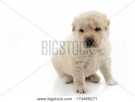 soft focus on a beautiful small golden puppy sat up the dog is isolated on a white background with copy space for text to the left