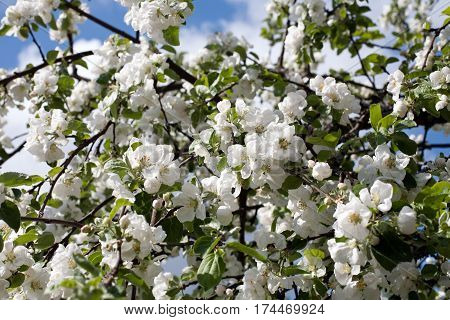 apple trees blooming blossom white flowers orchard pattern