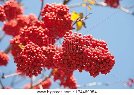 bunch of bright orange ashberries on blue sky background