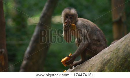 White-fronted capuchin eating papaya. Common names: mono capuchino. Scientific name: Cebus albifrons
