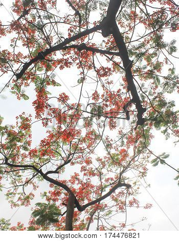 Tamarine tree with the red flower for background and pattern.