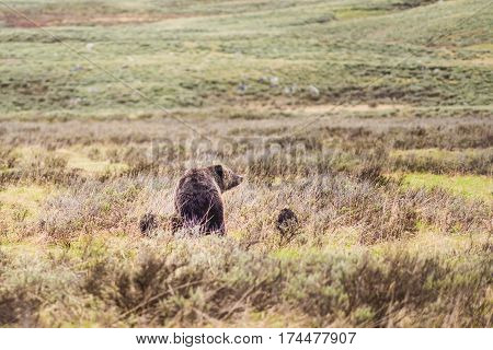 Mother grizzly bear with two cubs in prairie in Yellowstone National Park