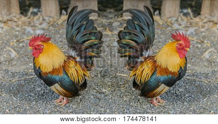 Close up portrait of beautiful colorful bantam chickens.