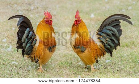 Close up portrait of two beautiful colorful bantam chickens.