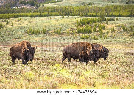 Herd of three bison walking in valley