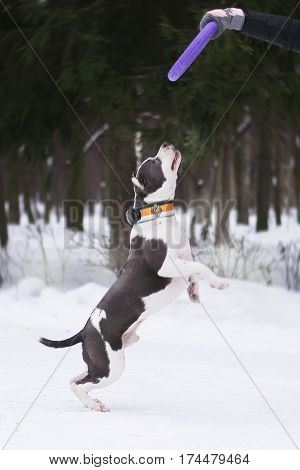 Young adult beautiful grey and white american staffordshire terrier dog jump to puller in winter forest on snow running