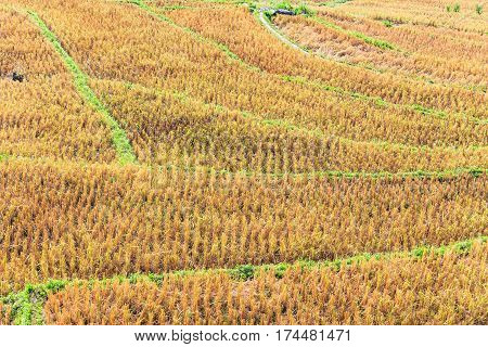 Rice Field With Rice Stubble Left After Harvesting In Thailand