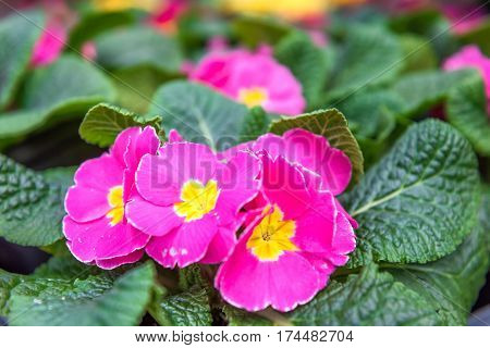 Pink and yellow Primula acaulis orion Rose Frost flowers macro closeup