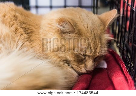 Orange tabby maine coon mix cat sleeping on blanket