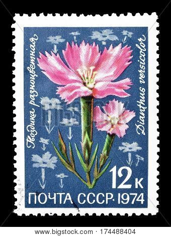 SOVIET UNION - CIRCA 1974 : Cancelled postage stamp printed by Soviet Union, that shows Dianthus versicolor flower.