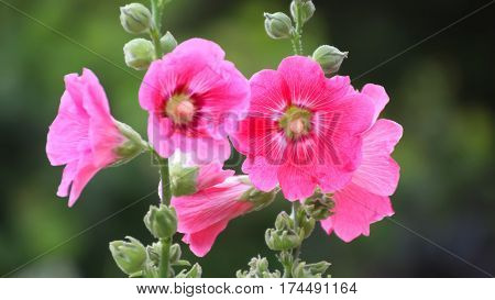 Selective focus Hollyhock flower in the garden closed up shot