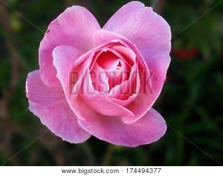Delicate pink rose. Pink cocoon, roantic pink, pink flower, pink pimpollo,