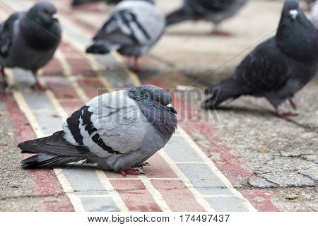 The rock dove on the concrete's street