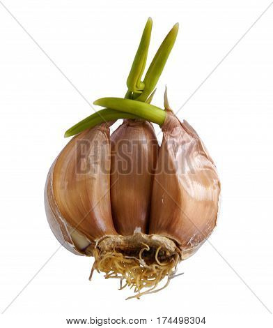 Garlic clove with green sprout on white background
