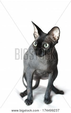Black Sphinx cat is sitting on a white isolated background