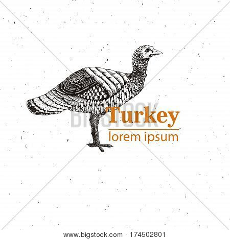 Vector illustration - young turkey hand drawn.Vintage engraving style. Nature - Sketch. Isolated fowls image on a white background. Logo template.