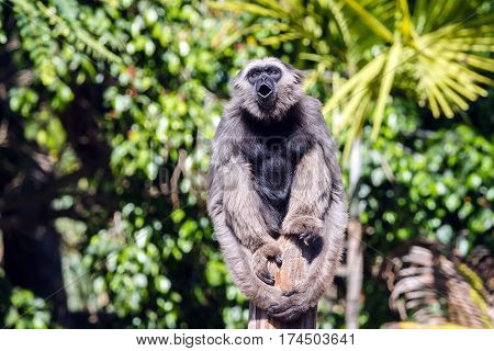 Gibbon sitting on a pole and shouting. Trees in the background