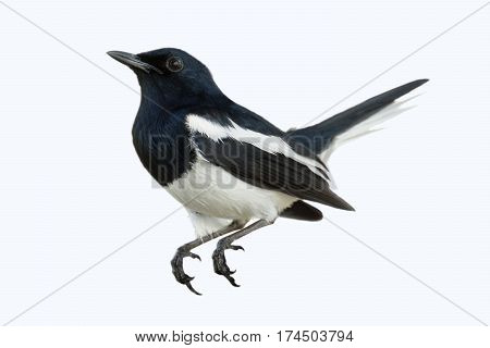 The birds are white and black. (Oriental magpie robin) It's looking for a friend to fly alongside the way.