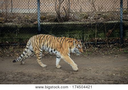 A large tiger pacing in the dirt
