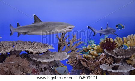 The oceanic whitetip shark (Carcharhinus longimanus) also known as Brown Milbert's sand bar shark brown shark nigano shark oceanic white-tipped whaler and silvertip shark
