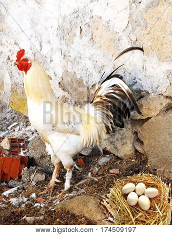 Pictures of domestic cocks, pictures of cock and chickens, images of natural organic village chickens, naturally-fed chickens