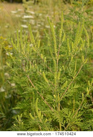 Ambrosia artemisiifolia causing allergy. It has also been called annual ragweed bitterweed blackweed carrot weed hay fever weed stammerwort stickweed tassel weed and American wormwood.