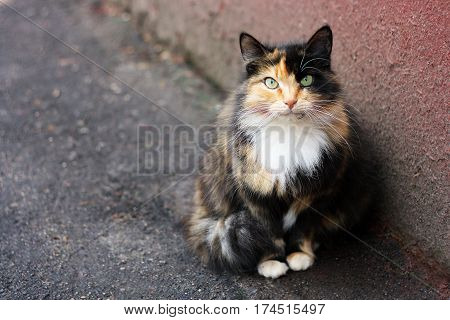Fluffy multicolored cat sitting near the old walls of the house. Cat has interesting original fur color.