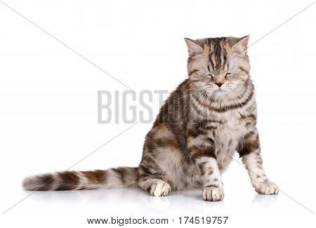 Portrait cat, scottish straight siting on white background