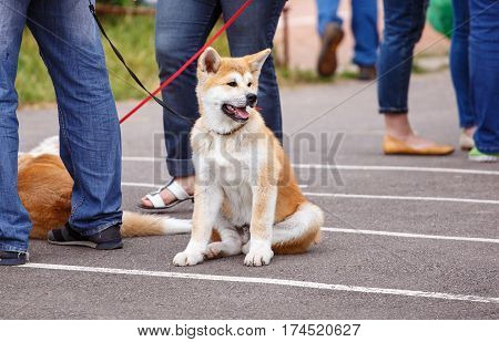 Akita dog on dog show sits near its owner