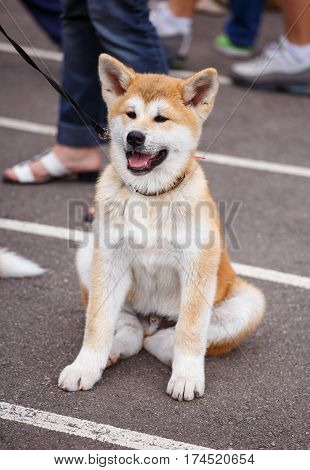 carroty Akita dog sitting with mouth open