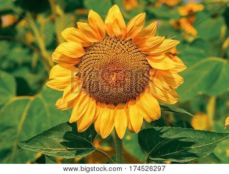 Beatiful Golden Sunflower