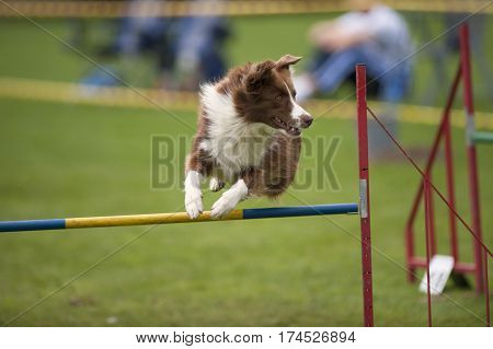 Playful dog jumping over hurdle. He is competing on an outdoors agility competition.