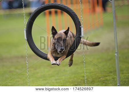 Belgian Shepherd dog looks like stuck in agility hoop. He is jumping through obstacle.