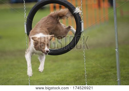 Dog doing funny poses in the air. Cute dog Border Collie turn when jump through agility obstacle hoop. He is very agile and skillful.