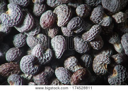 Microscopic dry seeds opium poppy Papaver somniferum. Narcotic drug opiates and food plant