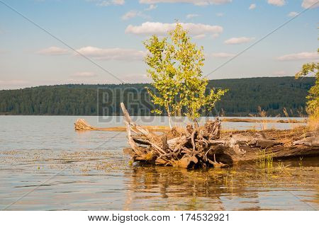 Young tree on the old wooden snag in the river