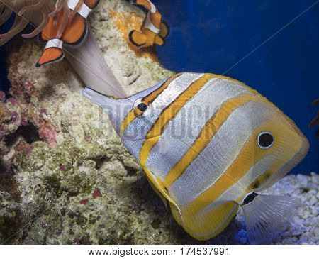 Colorful copperband butterflyfish in a saltwater tank with space for text.