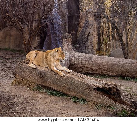 Lioness sitting on a log in a zoo