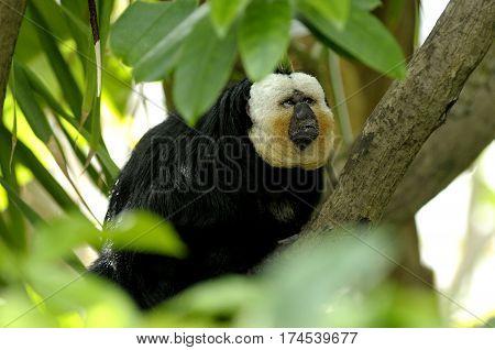 Sake Monkey Sitting on Tree Looking UP