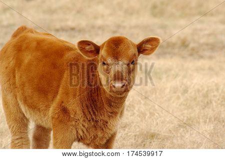 Limousin Brown Calf Standing Field in Arkansas