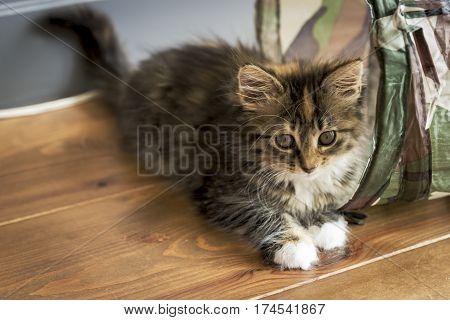 Maine Coon kitten lying on the wooden floor