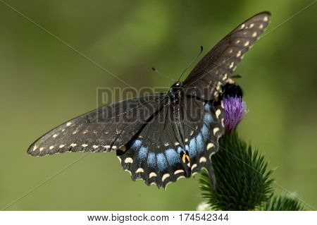 Blue Swallow Tail Butterfly Sitting on Purple Thistle