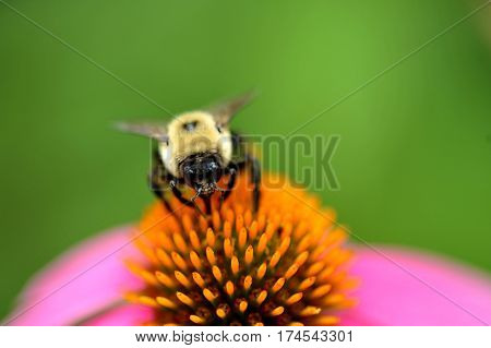Bumble Bee Drinking Nectar From Large Purple Cone Flower