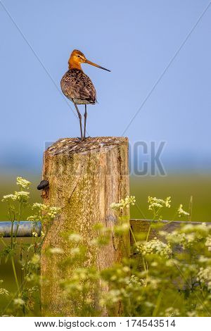 Alert Black-tailed Godwit On Post