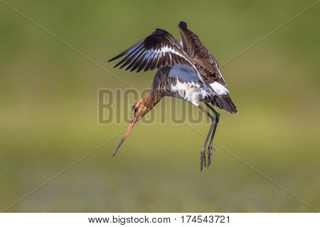 Black-tailed Godwit Wader Bird Preparing To Land